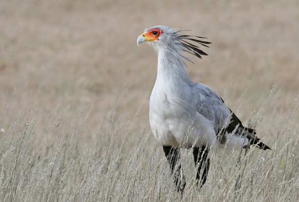 Secretarybird.Photo by Mike Richardson and Sarah Winch