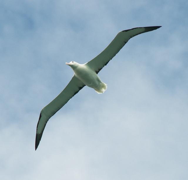 Avian flight ii albatross flight tough little birds