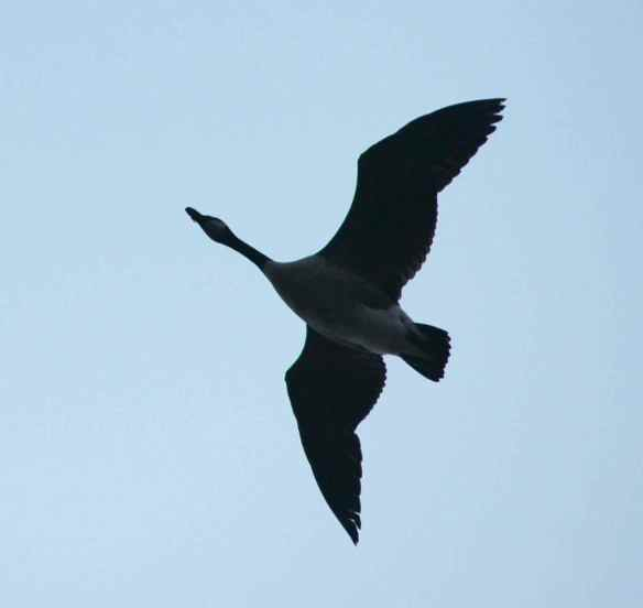 Canada Goose in flight.