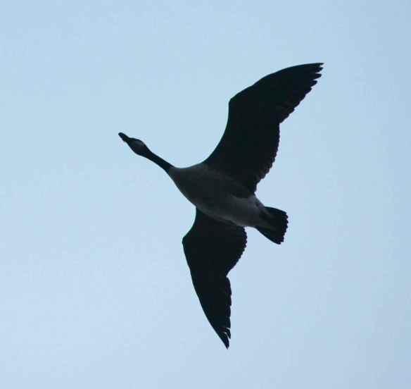 Canada Goose in flight.