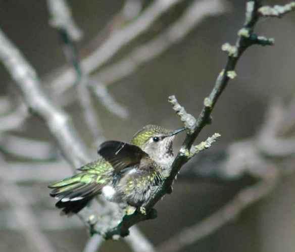 hummingbird_fluffed