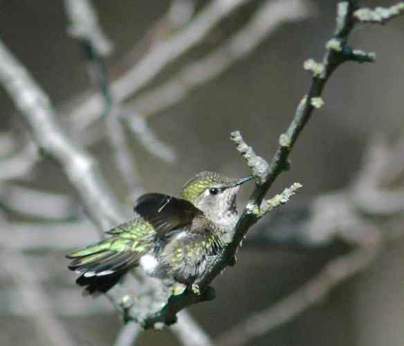 hummingbird_fluffed