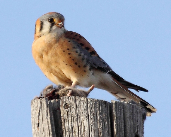 Kestrel with a captured vole. Photo by Pat Gaines