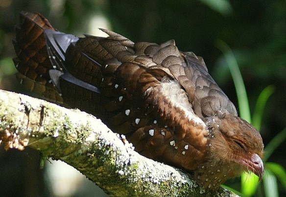 Oilbird. Photo by barloventomagico*