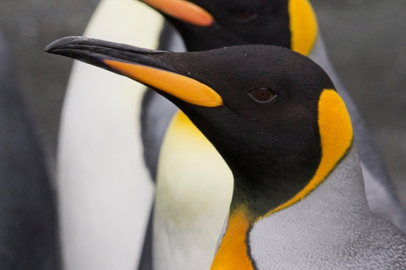King Penguin; notice the pinhole pupil. Photo by Su Yin Khoo