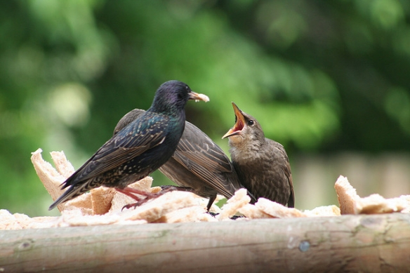 Starling adult and fledglings - who may be too old and feathered to reflect much UV from their skin now, but are definitely still hungry. Photo by Tina S. White.