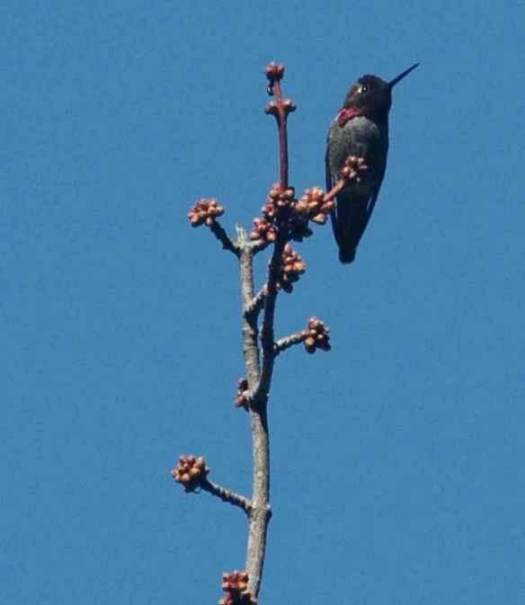 Anna's Hummingbird…