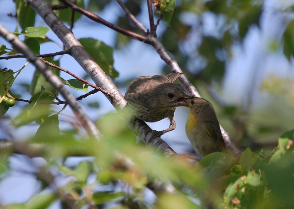 Cowbird fledgling being fed by its Common Yellowthroat foster parent. Photo by Dave Maher