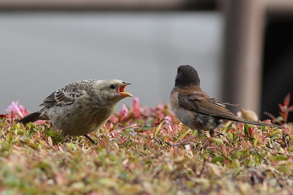 Cowbird fledgling (older than Zed) begging from its junco foster parent. Photo by Flavio M. Rose
