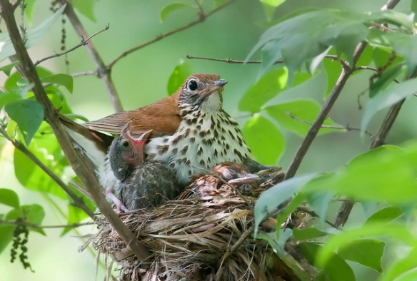 Cowbird nestling (left) with Wood Thrush foster mom and nestlings. Photo by Kelly Colgan Azar