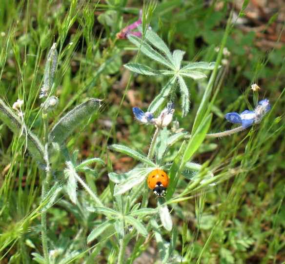scout_ladybug