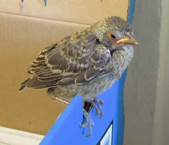 Rescued fledgling