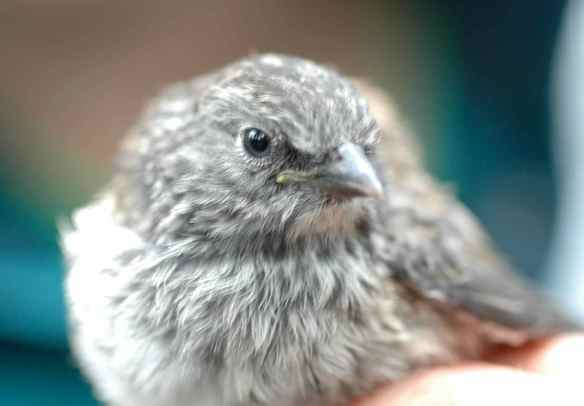 Older fledgling KEAR