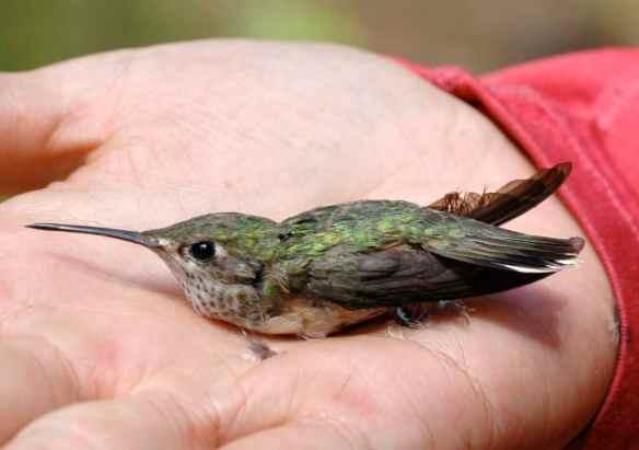 b2013-2_hummingbird
