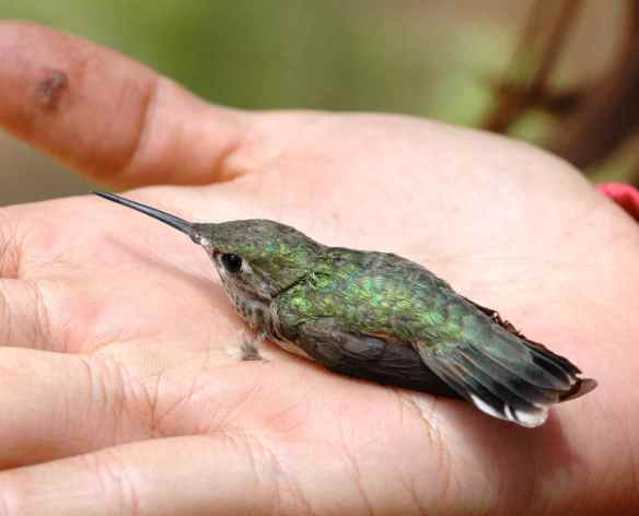 b2013-2_hummingbird2
