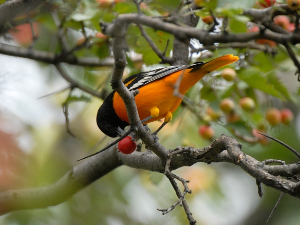 That berry may contain carotenoids to help this Baltimore Oriole stay orange. Photo by M. LaBarbera