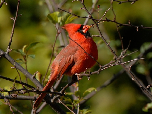 This male Northern Cardinal's bright red advertises his foraging prowess. Photo by M. LaBarbera