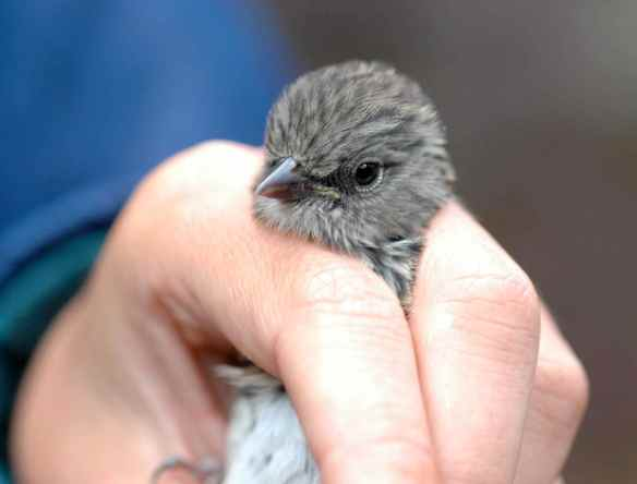 Older junco fledgling RONA