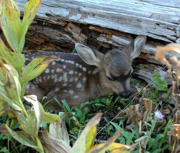 A mule deer fawn left alone by his mother, but she'll be back.