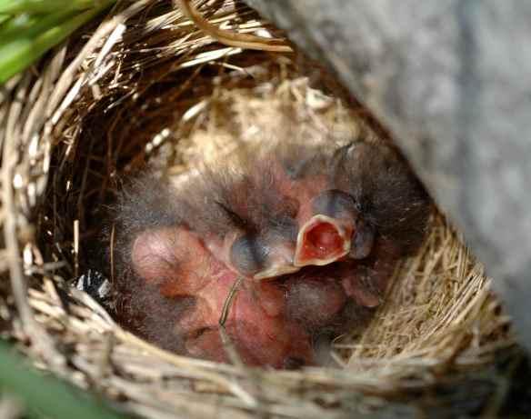 INGA's chicks