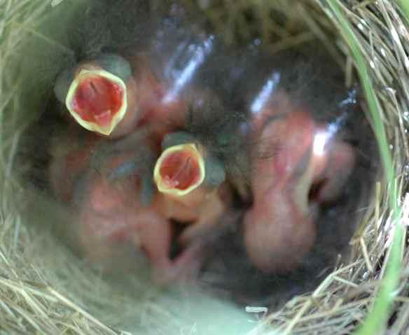 YYAG and MONA's chicks