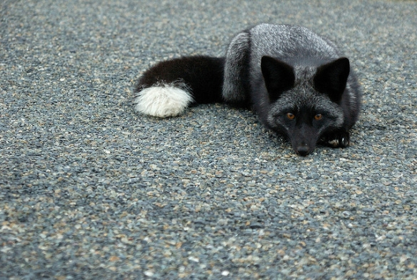 Young wild silver fox. Photo by Matt Knoth