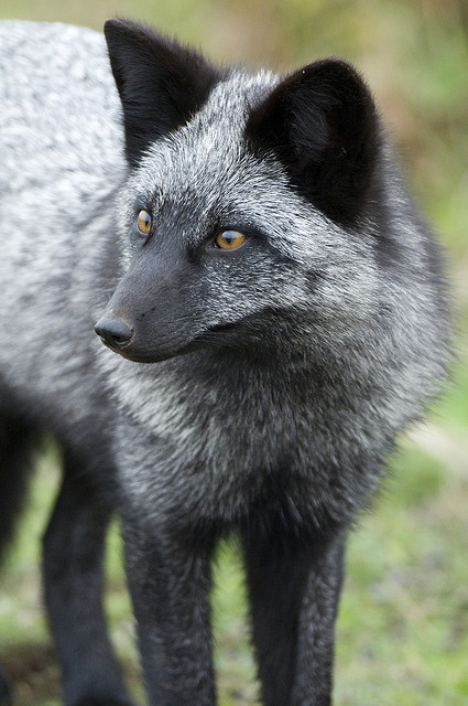 This wild silver fox does not love you, however. Photo by Matt Knoth