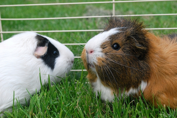 White facial markings on domestic guinea pigs. Photo by Daniel Hall