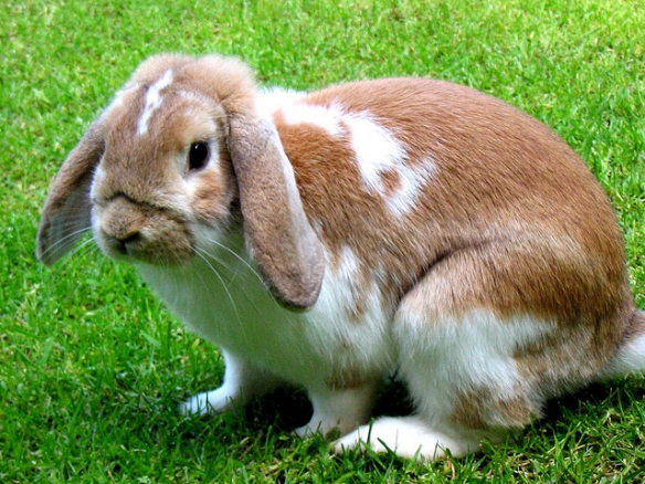 Lop-eared dwarf rabbit. Photo by Amy Wong