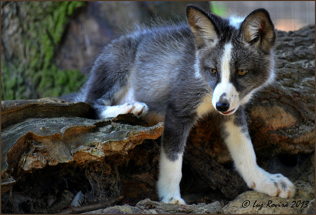 Silver fox kit - photo#26