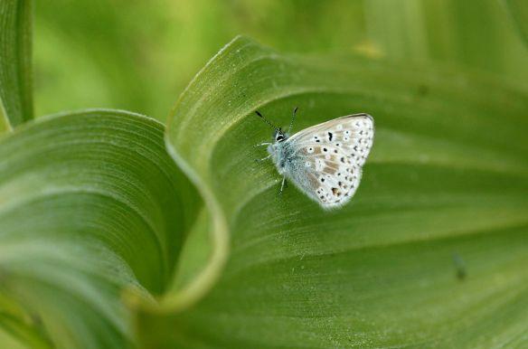 2013_butterflies_blue1