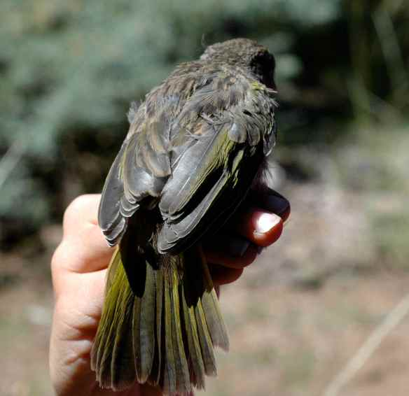 2013_bycatch4_juvtowhee3