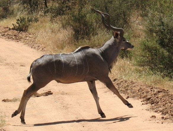 A form beautiful and wonderful: male greater kudu in Kenya.