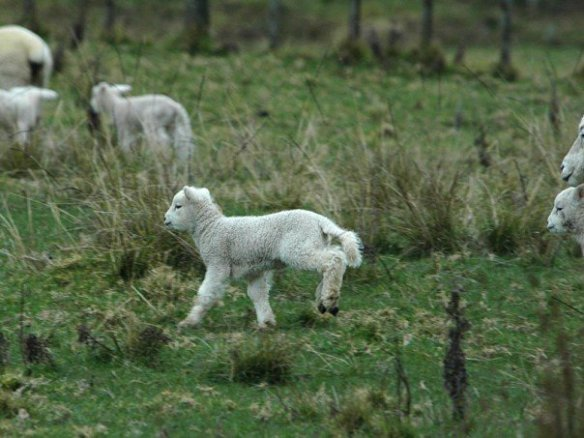 Frolicking New Zealand lamb only needs antibiotics if she gets sick, thanks.