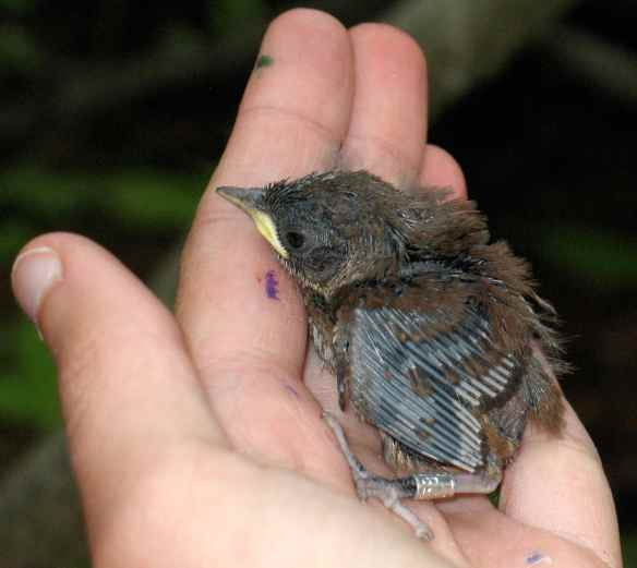 I did eventually figure out what House Wrens were. (This is a 9-day-old nestling. Look at the bill on him! It looks very long and pointy to my junco-accustomed eyes.)