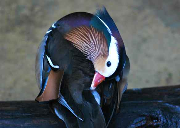 Mandarin Duck. Photographed at the Lincoln Park Zoo in Chicago.