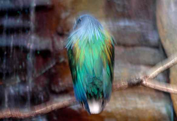 Nicobar Pigeon. Photographed at the Lincoln Park Zoo in Chicago.