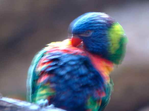 Rainbow Lorikeet. Photographed at the National Zoo in Baltimore.