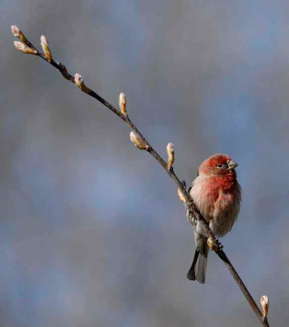 Red male House Finch. Photo by M. LaBarbera.