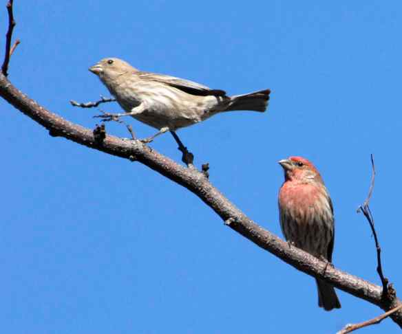 But I'm red! Come back, hon! (Female, left, and red male House Finch. Photo by M. LaBarbera.)