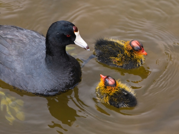 American Coot adult and chicks. Photo from Wikimedia Commons, by Mike Baird.