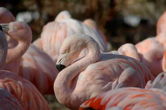 flamingofight4