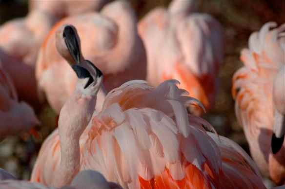 flamingofight8