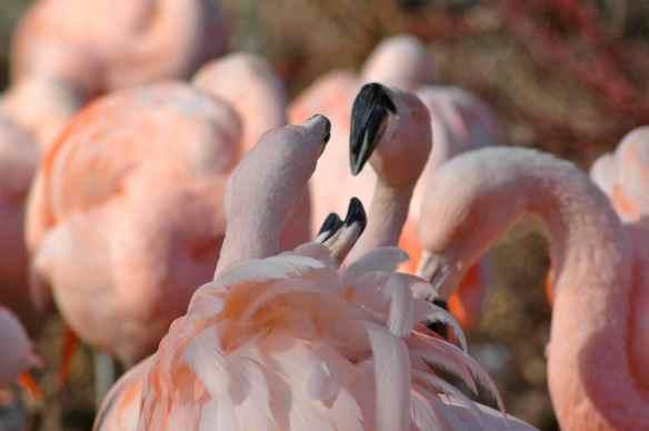 flamingofight9