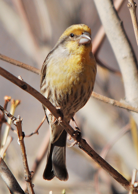 This is extremely unfair. (Yellow male House Finch. Photo by John Breitsch.)