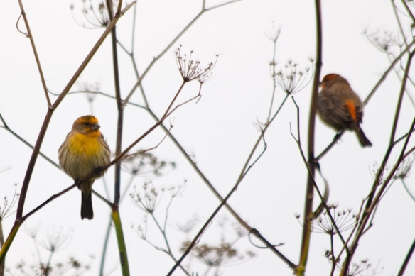 Yellow and orange male House Finches. Photo by Ken-ichi Ueda.
