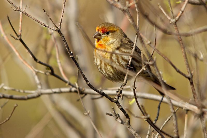 Orange finch birds - photo#15