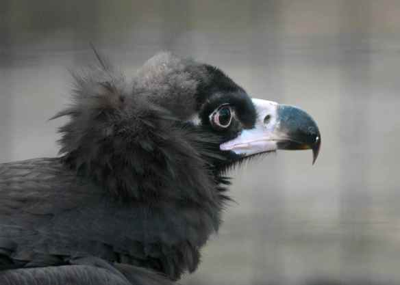 Sophia the Cinereous Vulture, at the Lincoln Park Zoo in Chicago.