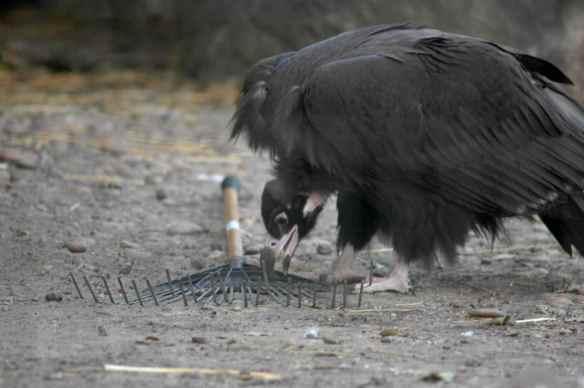 vulture_sophia10