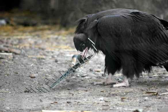 vulture_sophia11